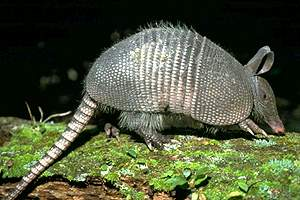 Armadillo -- Possum on the Half-Shell